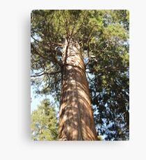 Giant Redwood Tree Canvas Print