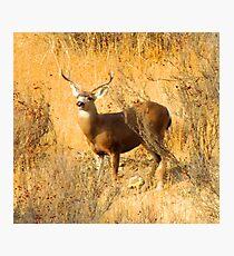 Buck broadside Photographic Print
