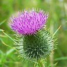 Wild Thistle 2 by davesphotographics