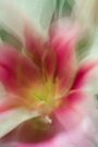 Fleur Blur-Abstract Pink, Yellow, White Lily by AhUmDesign