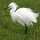 Snowy Egret  by glink