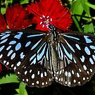 Blue Tiger Butterfly by Gabrielle  Lees
