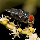 Bluebottle Fly on Palm Flower by Frank Yuwono
