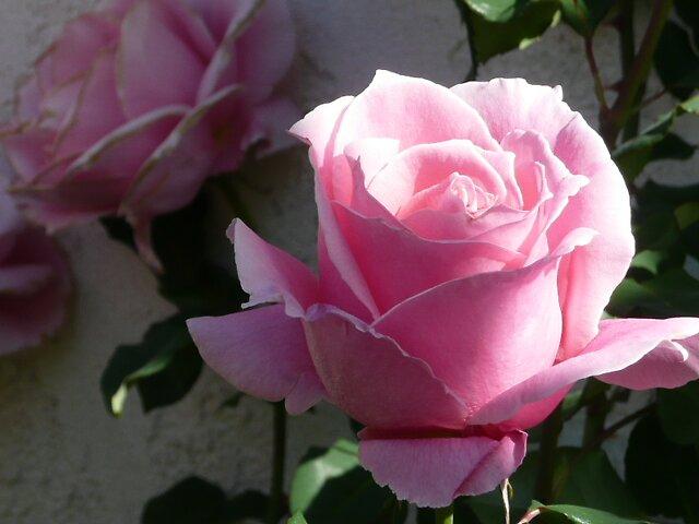 Rose by jbdk