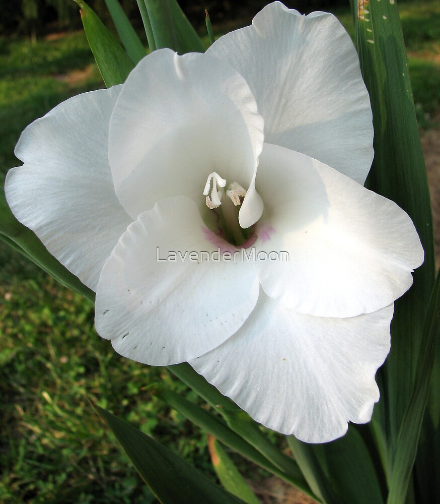 Gladiolus Perfectus by LavenderMoon