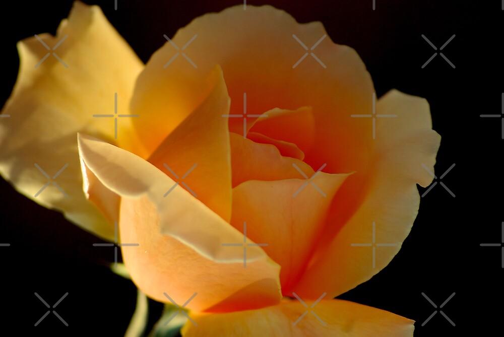 THE APRICOT ROSE by Magriet Meintjes