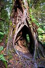 Hollow in the Mountain Ash, Maits Rest, Victoria by Christine Smith