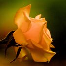 THE PEACH ROSE by Magriet Meintjes