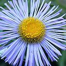 Blue Daisy by Stephen Thomas