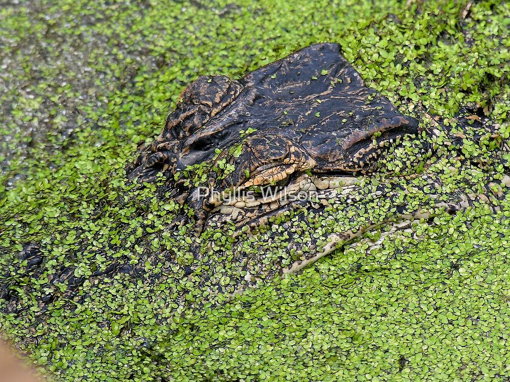 Gator Closeup by Phyllis Wilson