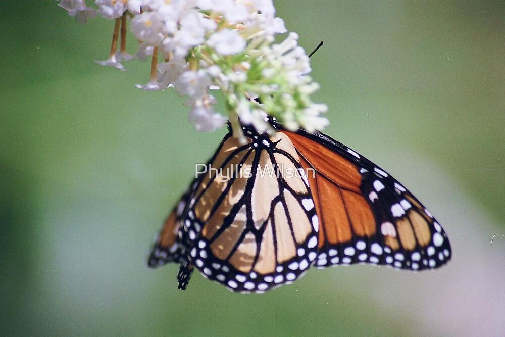 Monarch Polka Dots by Phyllis Wilson