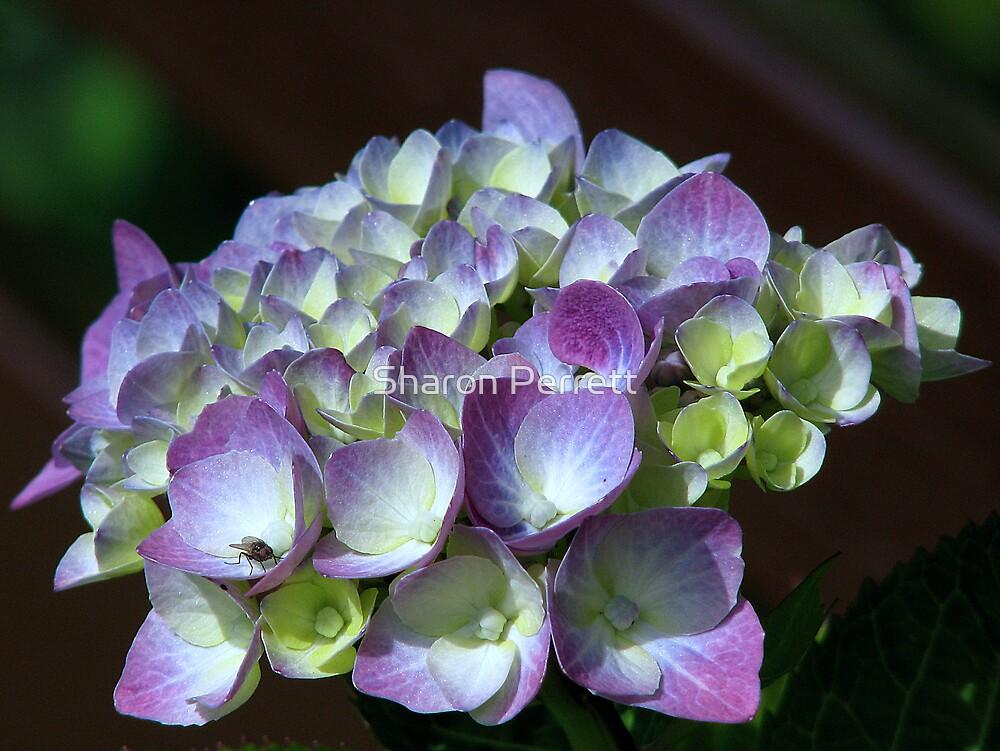 Hydrangea 2 by Sharon Perrett
