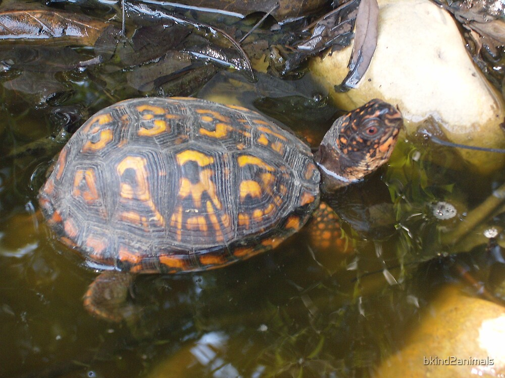 Eastern box turtle from a childs view color photo  by bkind2animals