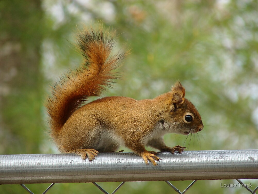 Red Squirrel by Louise Trask