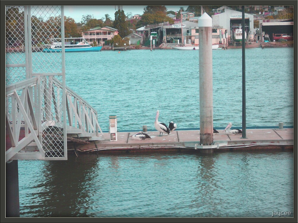 Pelicans on the River by jaycee