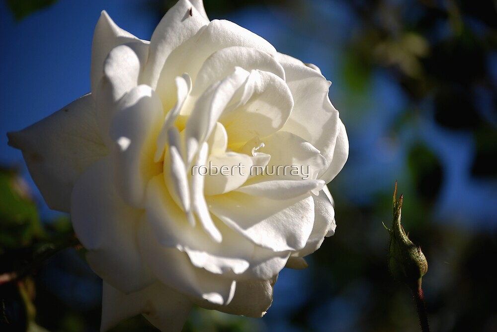 white rose by robert murray