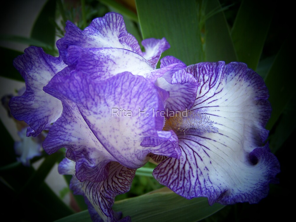 "Blue & White "" Iris""  by Rita  H. Ireland"