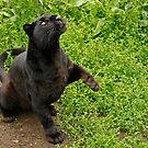 Black Panther by Ann Heffron