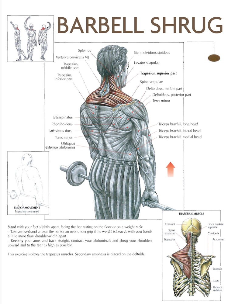 Barbell Shrug - Exercise Muscle Diagram\