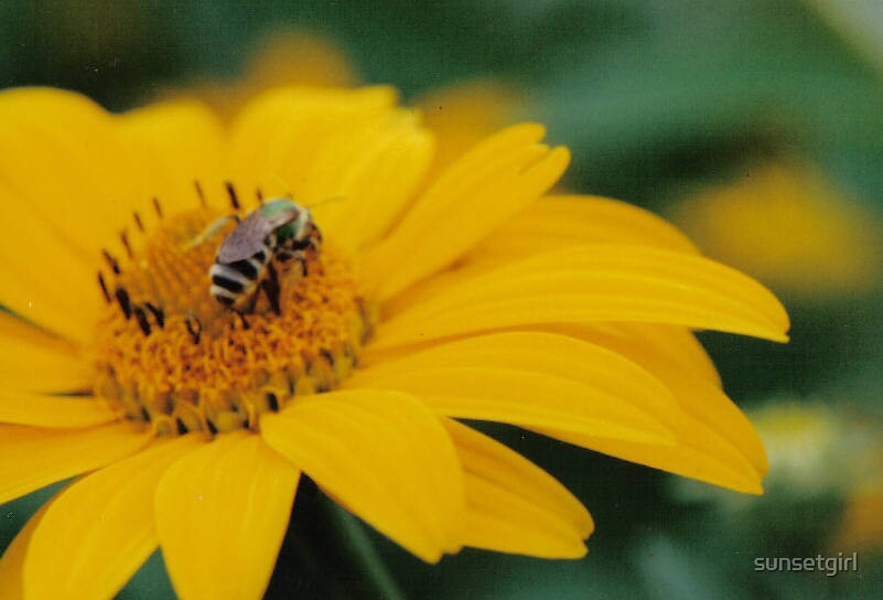 Bee on Yellow Daisy by sunsetgirl
