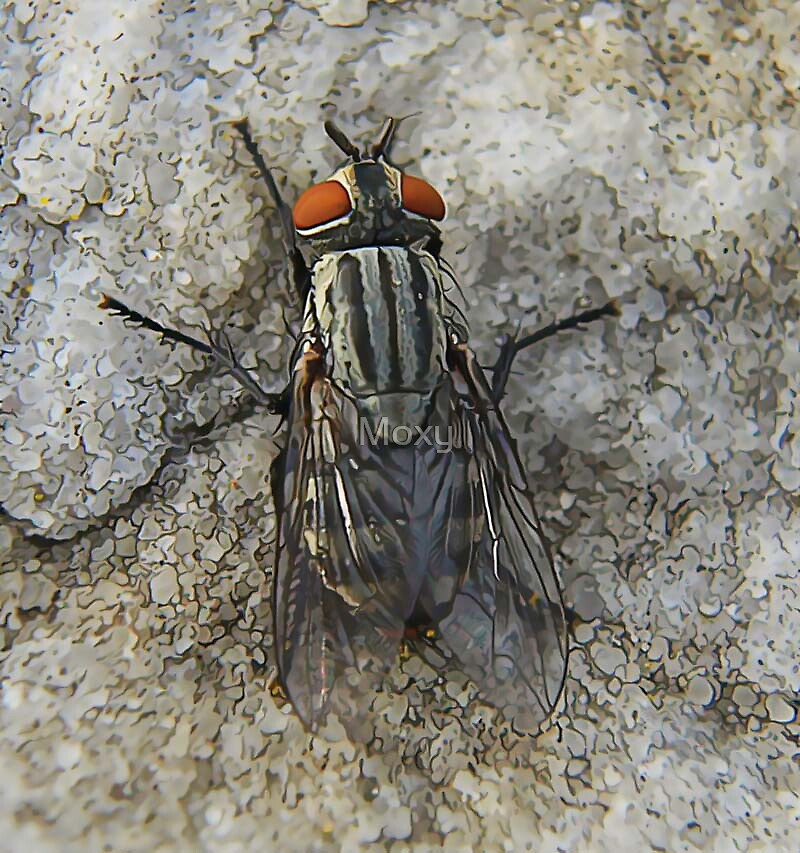 Common Fly Closeup by Moxy