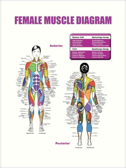 Láminas artísticas «Diagrama de Músculos Femeninos - Tabla de ...