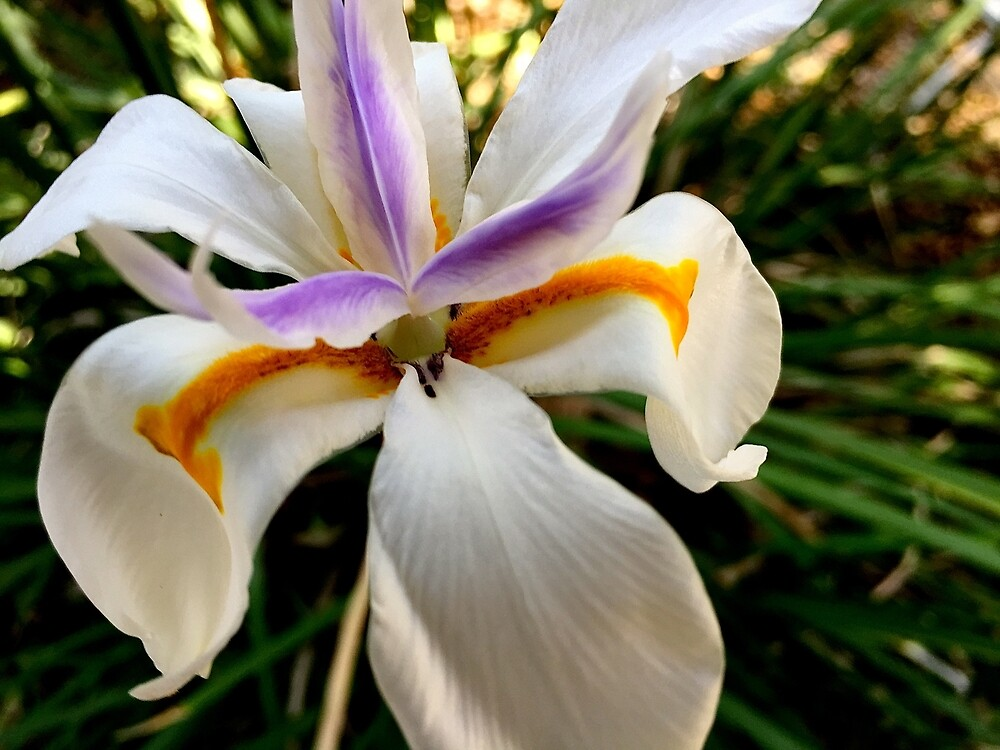 Fortnight Lily (Dietes) from A Gardener's Notebook by Douglas E.  Welch
