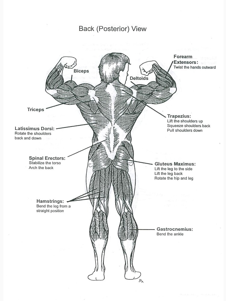Muscle Chart - Anatomy Diagram (Back Posterior)\