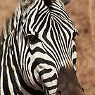 Zebra Portrait by Robin Hayward
