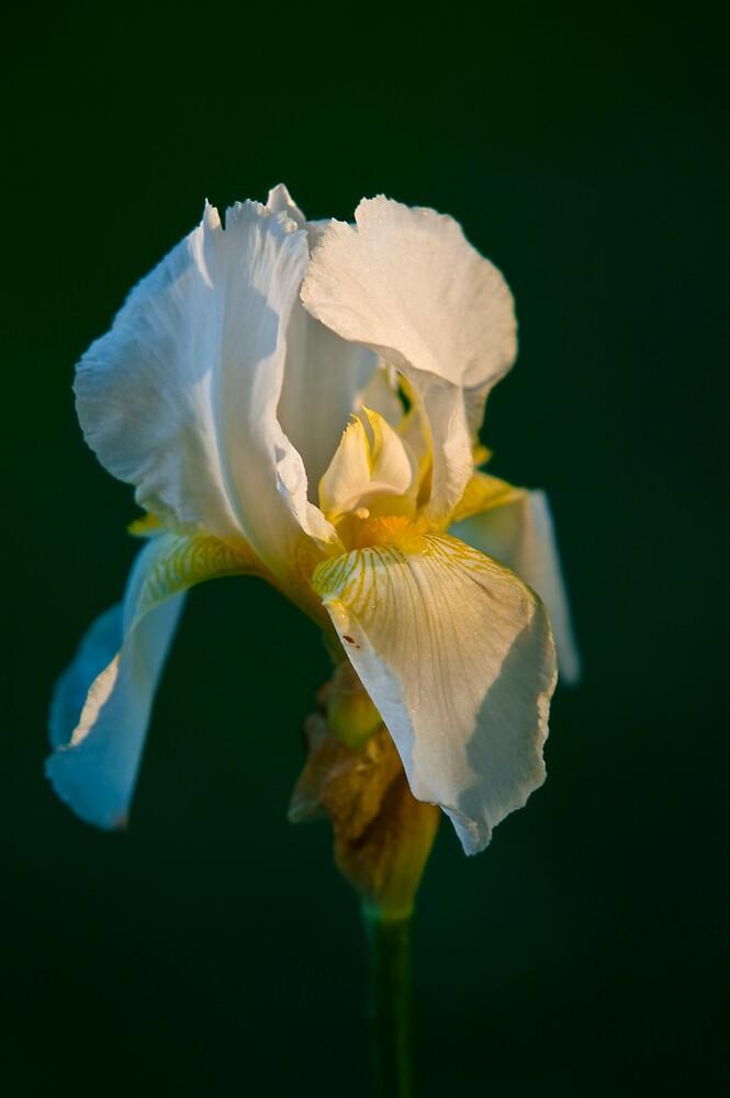 Iris at sunset by Duane Fulk