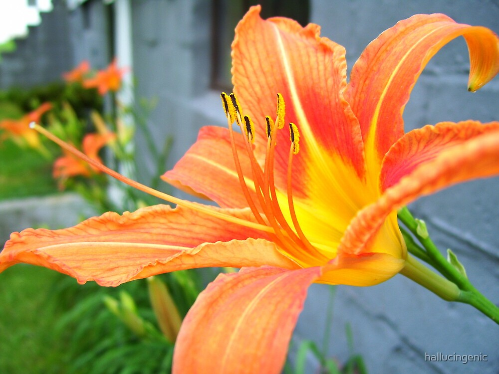 Orange Lilly by hallucingenic