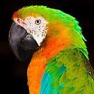 Parrot by John Velocci