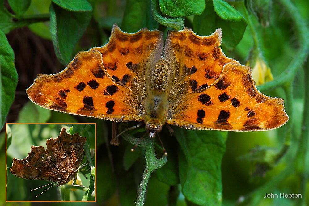 Comma Butterfly by John Hooton
