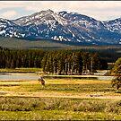 ~ Hayden Valley, Where Wild Calls to Wild ~ by Tim Denny