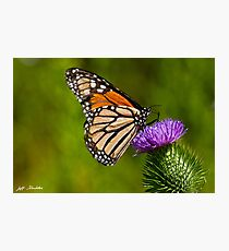 Monarch Butterfly on a Thistle Photographic Print