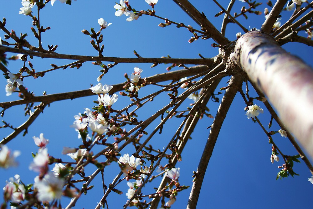 cherry blossoms by teresalynn