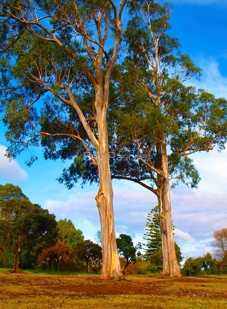 Two Eucalypts in Drouin, Gippsland by Bev Pascoe