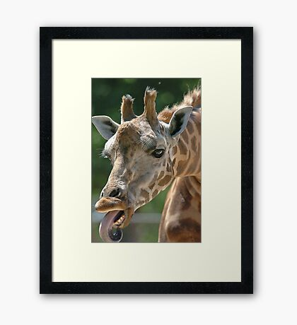 Giraffe with tongue poking out Framed Print