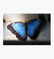 Majestic blue butterfly  Photographic Print
