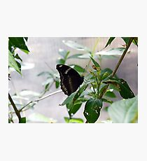 Black butterfly on green leaves  Photographic Print
