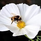 Bumble Bee & White Cosmos by AnnDixon