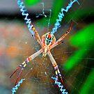 St Andrew's Cross Spider (female). by Margaret Stevens