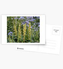Verbascum and Campanula Postkarten