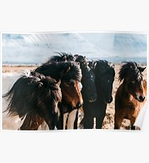 Horses in Iceland - Wildlife animals Poster