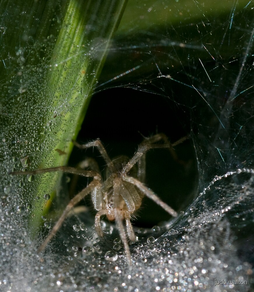 spider with morning dew by jude walton