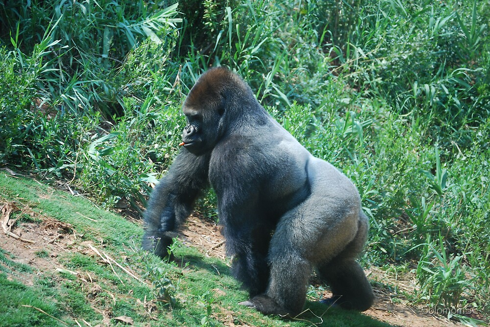 Gorilla with Carrot by SolomomSC