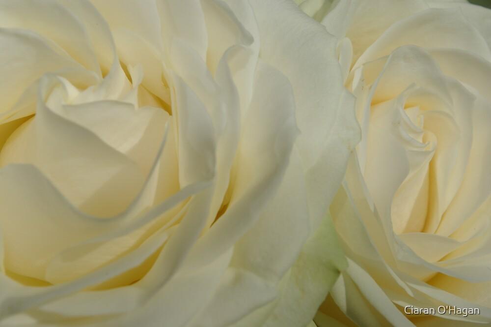 Roses by Ciaran O'Hagan