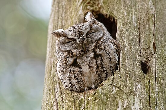 Sleeping Screech Owl by Michael Cummings