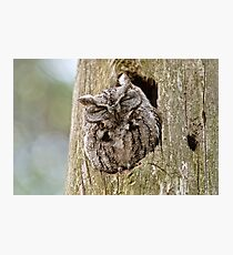 Sleeping Screech Owl Photographic Print