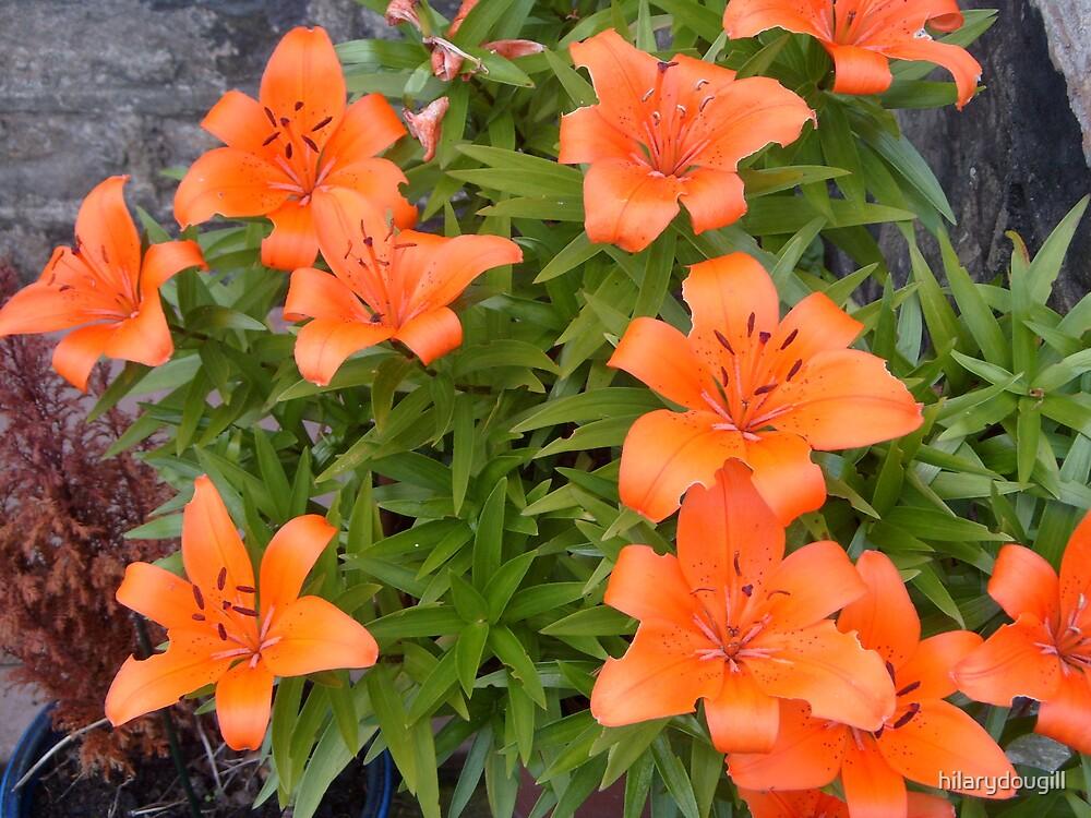 Orange Lilies by hilarydougill